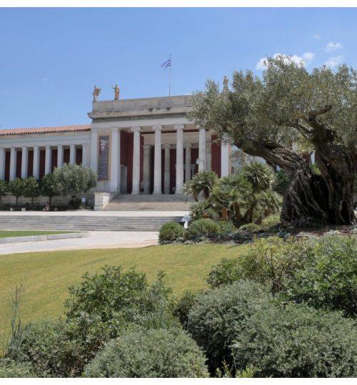 Μια ελιά 1.300 ετών και 6.000 φυτά στολίζουν τον κήπο του Αρχαιολογικού Μουσείου